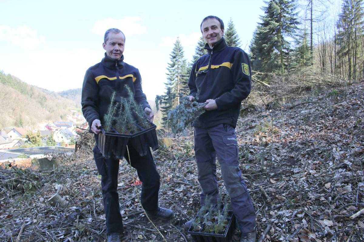 Atlaszeder erweitert Artenpalette im Exotenwald
