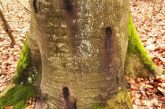 Trockenschäden im Gaiberger Wald – Fällen der Buchen erforderlich