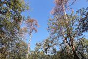 Das Kreisforstamt informiert: Waldschäden in der Rheinebene – Vorboten von gravierenden Veränderungen