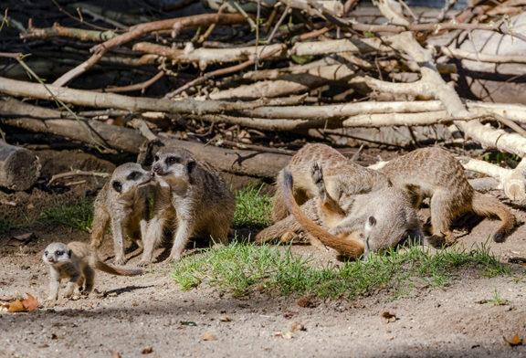 Erdmännchen im Zoo Heidelberg haben zum vierten Mal Nachwuchs