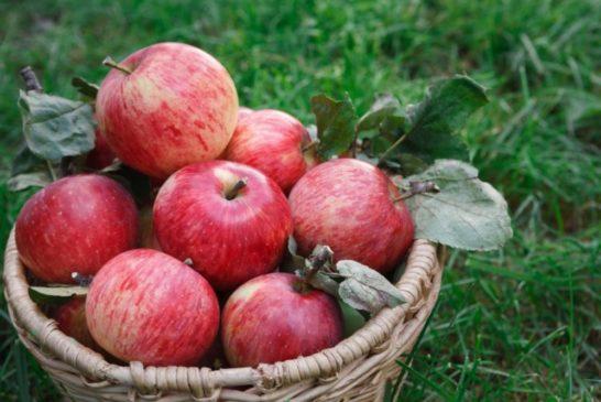 Doch zufriedenstellende Apfelernte 2020