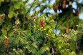 Schwetzingen: Wohin mit dem Christbaum nach Weihnachten? Abgabe am 9. Januar 2021 auf dem Häckselplatz und am Stadion möglich